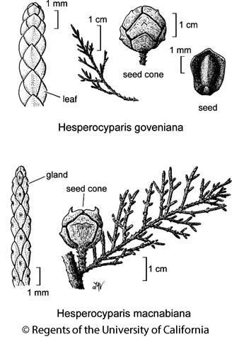 botanical illustration including Hesperocyparis goveniana