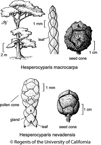 botanical illustration including Hesperocyparis macrocarpa