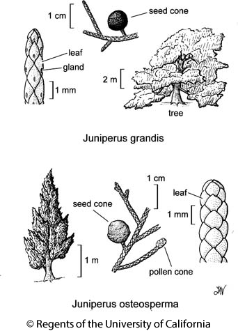 botanical illustration including Juniperus grandis