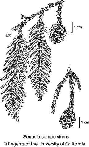 botanical illustration including Sequoia sempervirens