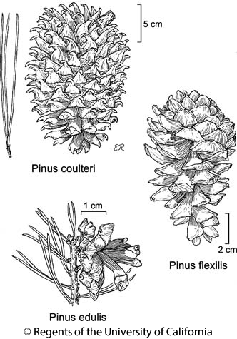 botanical illustration including Pinus coulteri