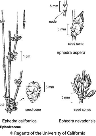 botanical illustration including Ephedra aspera
