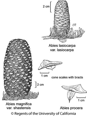 botanical illustration including Abies procera