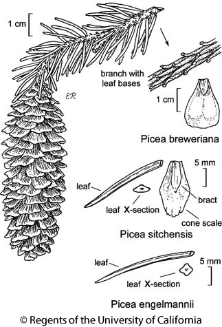 botanical illustration including Picea breweriana