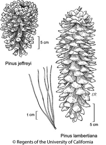 botanical illustration including Pinus lambertiana