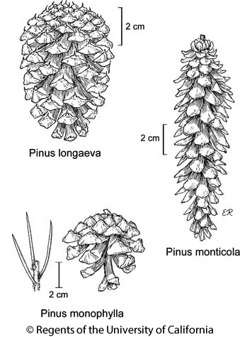 botanical illustration including Pinus monophylla