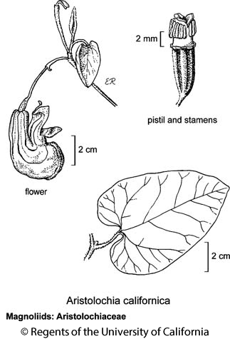 botanical illustration including Aristolochia californica