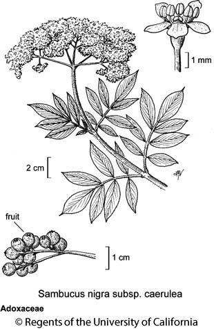 botanical illustration including Sambucus nigra subsp. caerulea