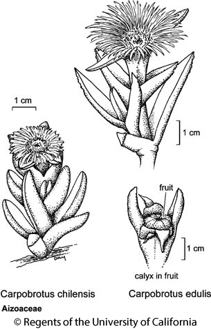 botanical illustration including Carpobrotus edulis