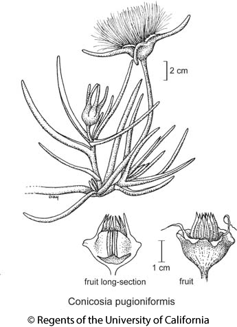 botanical illustration including Conicosia pugioniformis