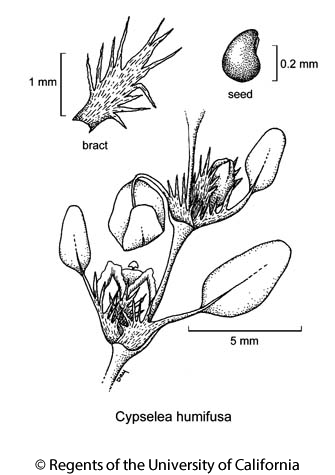 botanical illustration including Cypselea humifusa