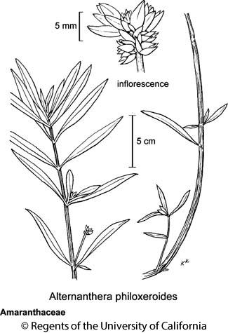 botanical illustration including Alternanthera philoxeroides