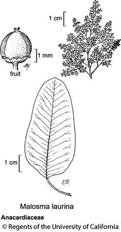 botanical illustration including Malosma laurina