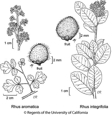botanical illustration including Rhus integrifolia