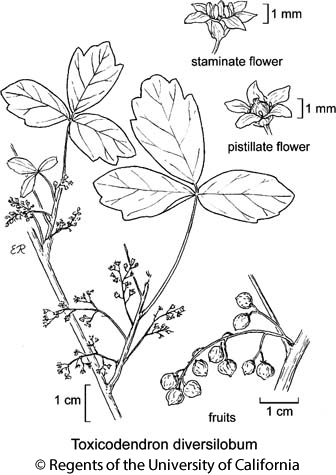 botanical illustration including Toxicodendron diversilobum
