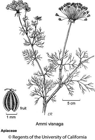 botanical illustration including Ammi visnaga