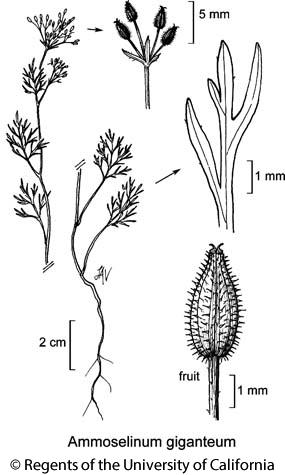 botanical illustration including Ammoselinum giganteum