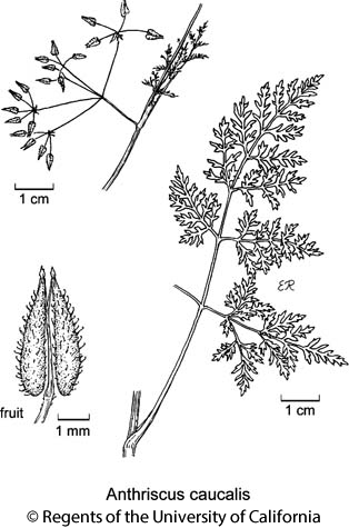 botanical illustration including Anthriscus caucalis
