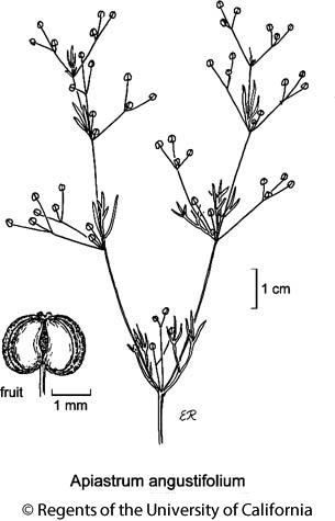 botanical illustration including Apiastrum angustifolium