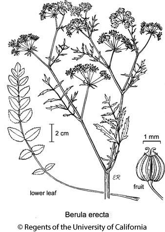 botanical illustration including Berula erecta