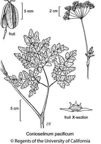 botanical illustration including Conioselinum pacificum