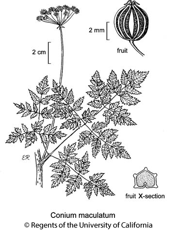 botanical illustration including Conium maculatum
