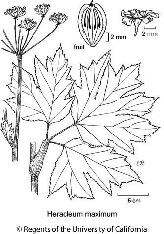 botanical illustration including Heracleum maximum