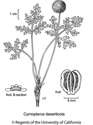 botanical illustration including Cymopterus deserticola