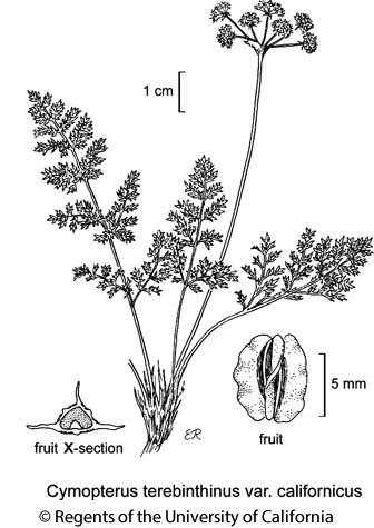 botanical illustration including Cymopterus terebinthinus var. californicus