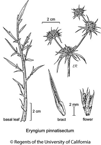 botanical illustration including Eryngium pinnatisectum