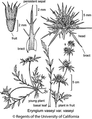 botanical illustration including Eryngium vaseyi var. vaseyi