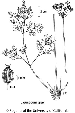botanical illustration including Ligusticum grayi