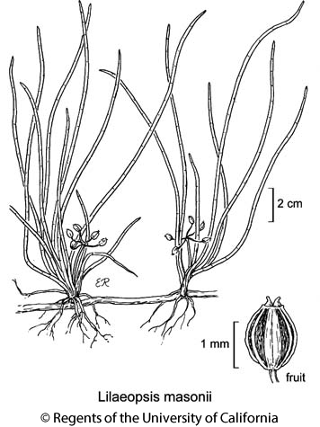 botanical illustration including Lilaeopsis masonii