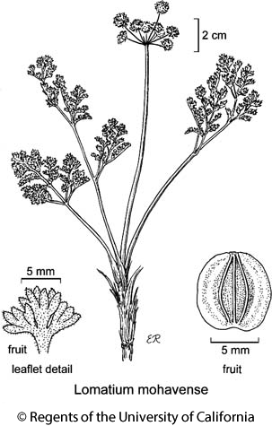 botanical illustration including Lomatium mohavense