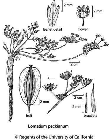botanical illustration including Lomatium peckianum