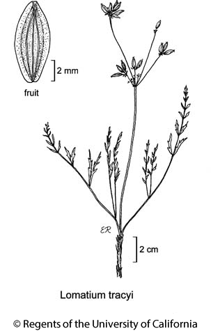 botanical illustration including Lomatium tracyi