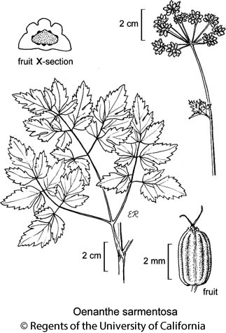 botanical illustration including Oenanthe sarmentosa