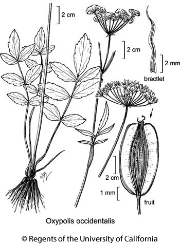 botanical illustration including Oxypolis occidentalis