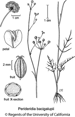 botanical illustration including Perideridia bacigalupii