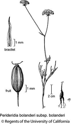 botanical illustration including Perideridia bolanderi subsp. bolanderi