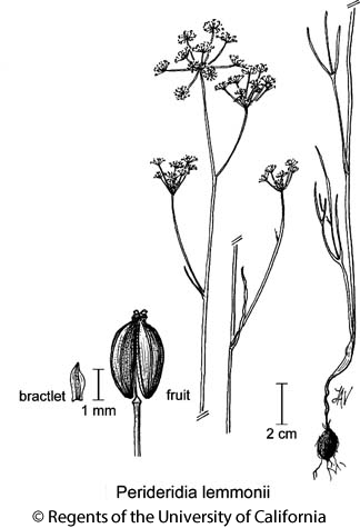 botanical illustration including Perideridia lemmonii