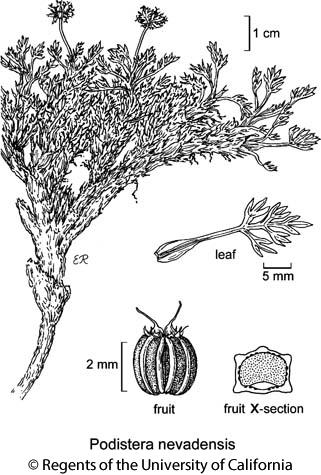 botanical illustration including Podistera nevadensis