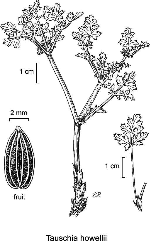 botanical illustration including Tauschia arguta