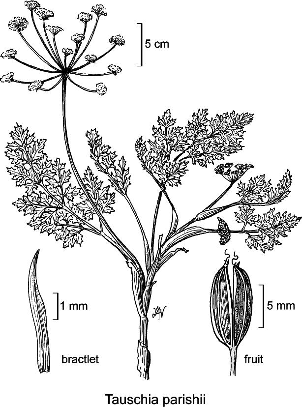 botanical illustration including Tauschia howellii