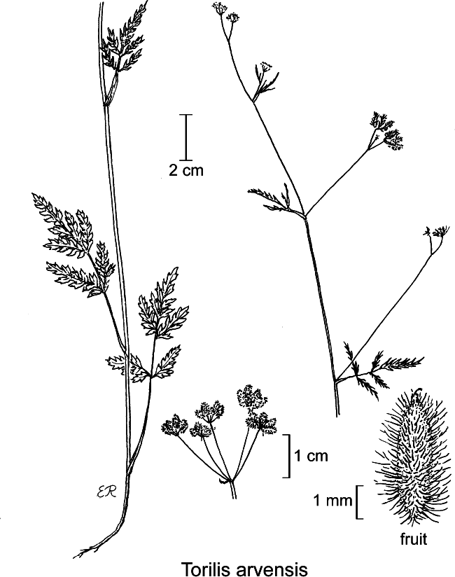 botanical illustration including Tauschia parishii