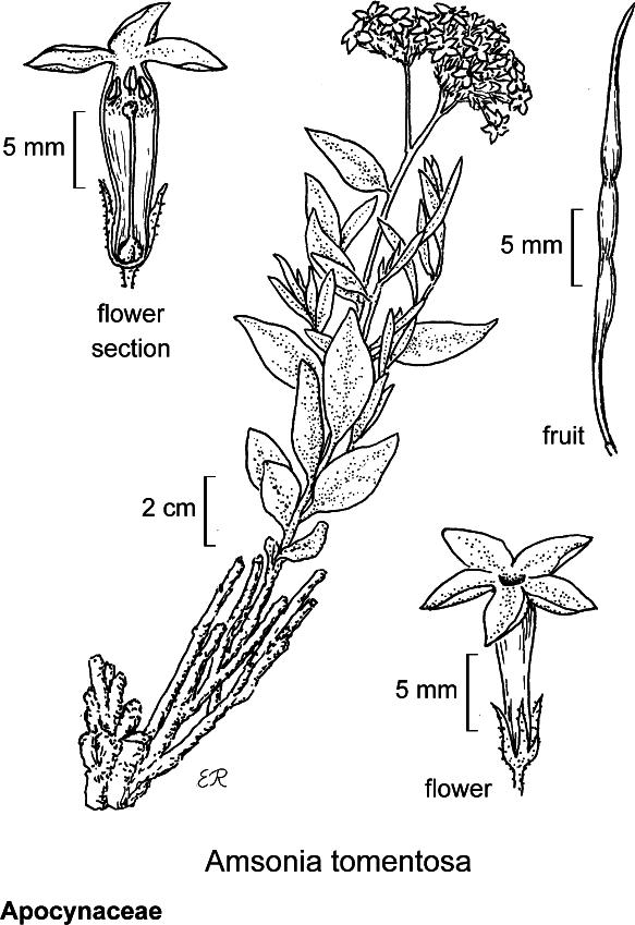 botanical illustration including Yabea microcarpa