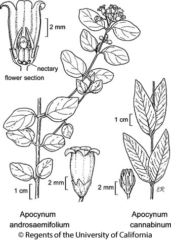 botanical illustration including Apocynum androsaemifolium