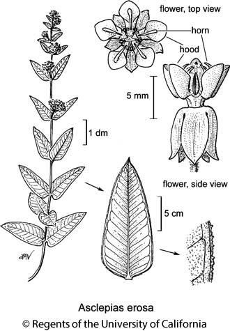 botanical illustration including Asclepias erosa