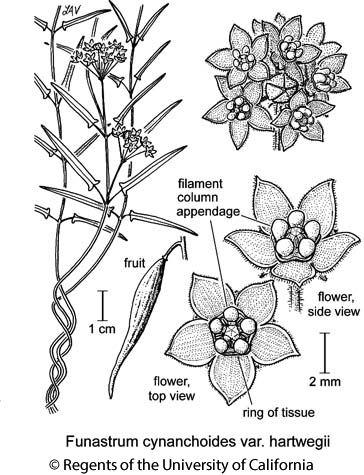 botanical illustration including Funastrum cynanchoides var. hartwegii