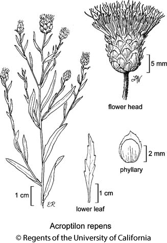 botanical illustration including Acroptilon repens